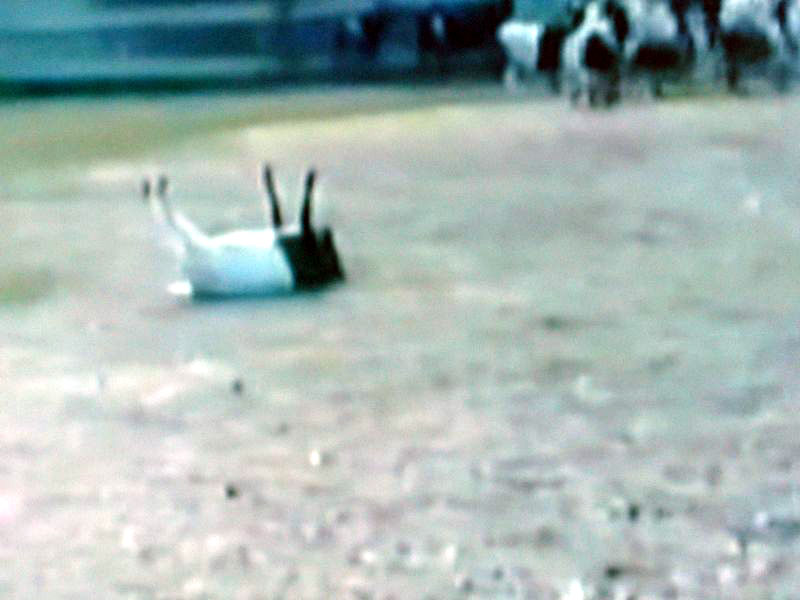 Yes, that goat just fainted that way