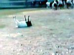 The fainting goats!