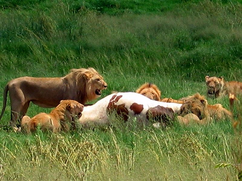 in the jungle the lions eat today...
