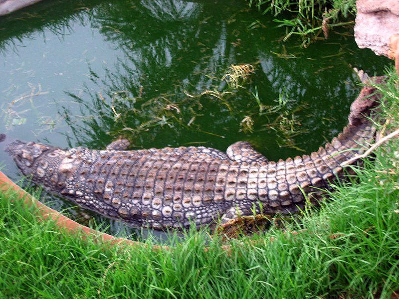 in a while crocodile
