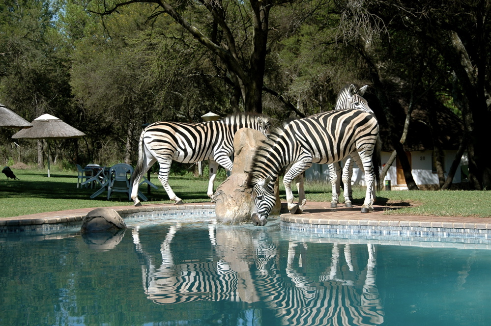 The pool and the zebras...