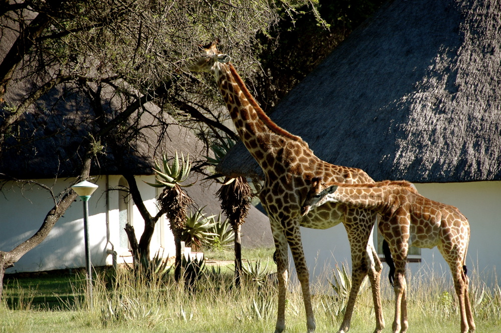 Giraffes in the backyard